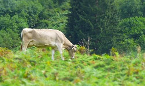 Kuh (59)_Header_Tanja_Busse
