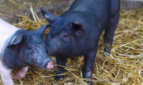 Schweine_Herrmannsdorfer (24)_Idel_Header